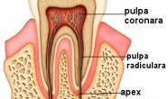 Pulpa dentara