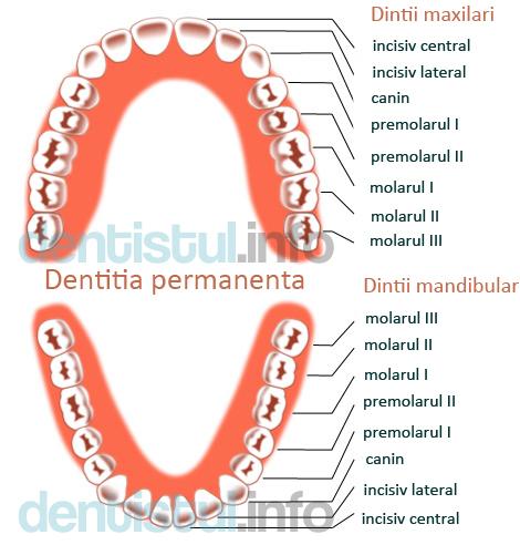 dentitie-permanenta